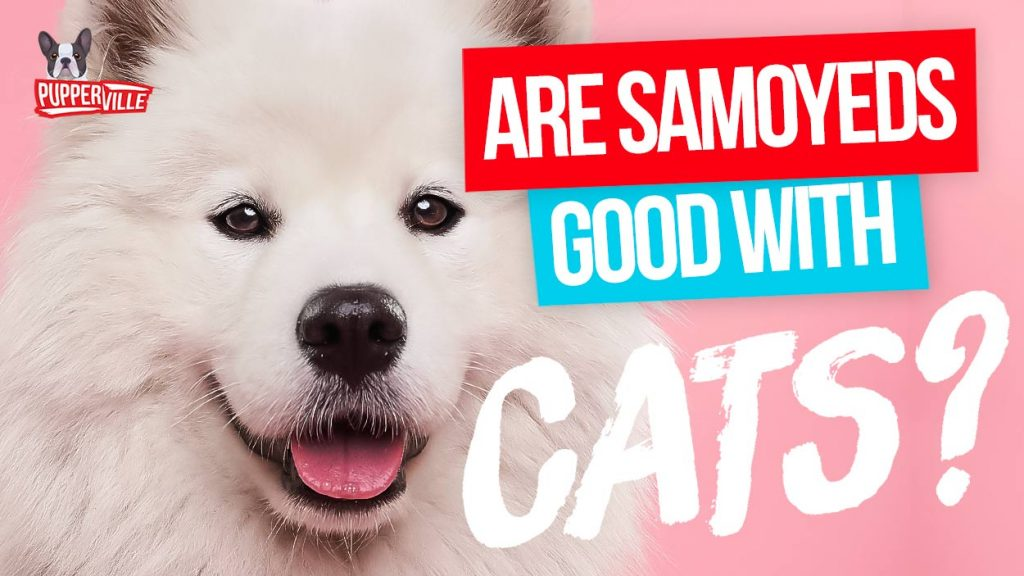 are-samoyeds-good-with-cats