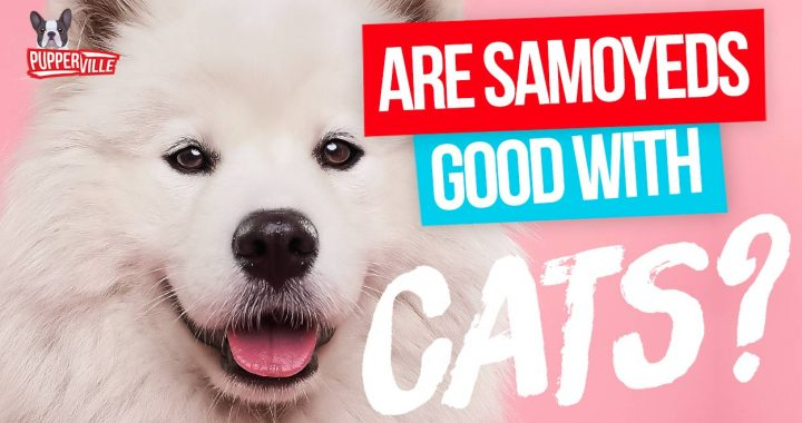 Are Samoyeds Good With Cats? (2020 UPDATED)