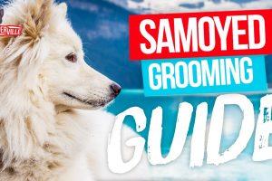 Samoyed Grooming: Essential Equipment, Tricks & Tips (UPDATED)
