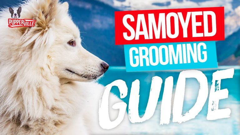 samoyed-grooming-guide