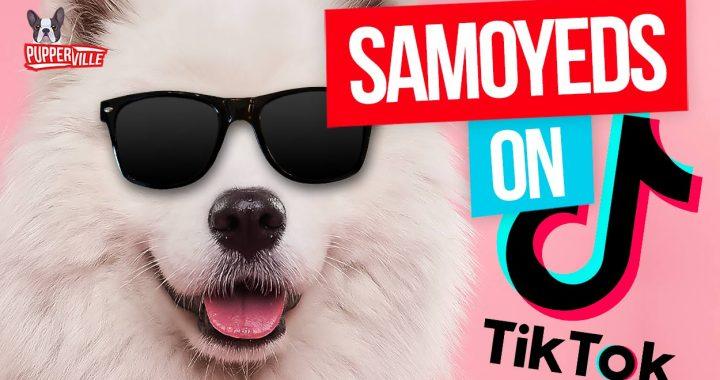 Samoyeds & Samoyed Puppies on TikTok (OCTOBER 2020)